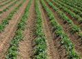 Free image/jpeg, Resolution: 3072x2048, File size: 3.54Mb, Potato plants on the field