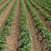 Free image/jpeg, Resolution: 3072x2048, File size: 3.54Mb, Potato plants on the field