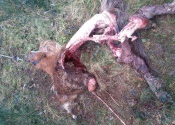 Ataque de un lobo en la parroquia de Labacengos, en Moeche
